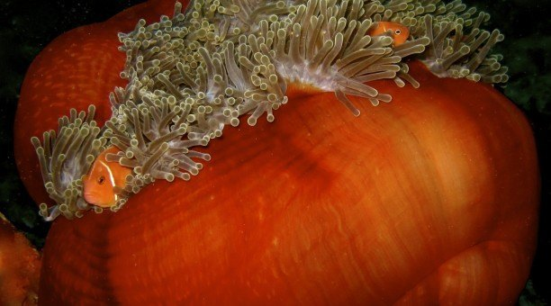 Great Barrier Reef anemone fish