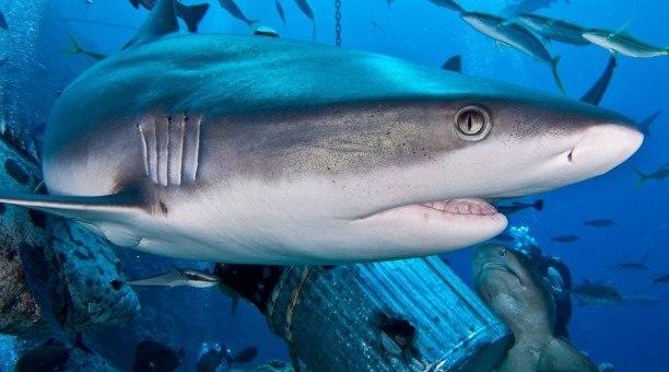 Shark Dive Australia